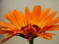 Calendula Petals (3983705994).jpg