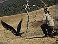 California condor being released at Bitter Creek NWR (5040114994).jpg