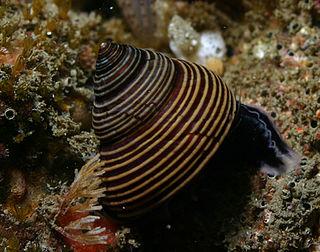 <i>Calliostoma ligatum</i> species of mollusc