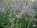 Calluna-vulgaris.JPG