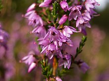Pour CANTALINE... - Page 6 220px-Calluna_vulgaris_%28flower_closeup%29