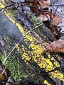 Calycina citrina 102466792.jpg