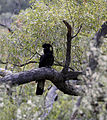Calyptorhynchus funereus -East Kurrajong, Sydney, New South Wales -male-8a.jpg