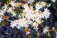 Calytrix tetragona Ku-ring-gai Chase National Park
