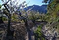 Camp de cirerers en flor a la Vall de Gallinera.JPG