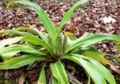 Campylandra chinensis 1.jpg