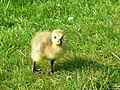 Canada gosling, Coate Water, Swindon - geograph.org.uk - 459591.jpg
