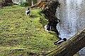 Canards Parc Capucins Coulommiers 2.jpg