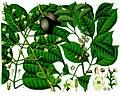 Canarium indicum - Icica icicariba - Köhler–s Medizinal-Pflanzen-171.jpg
