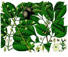 Canarium indicum - Icica icicariba - Köhler–s Medizinal-Pflanzen-171