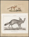 Canis cerdo - 1700-1880 - Print - Iconographia Zoologica - Special Collections University of Amsterdam - UBA01 IZ22200419.tif