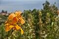 Canna cv. - Santana, Madeira - Aug 2012.jpg