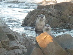 Cape clawless otters.jpg