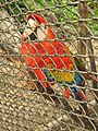 Captive Macaw Colombia.jpg