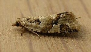 Capua (moth) - Capua euphona