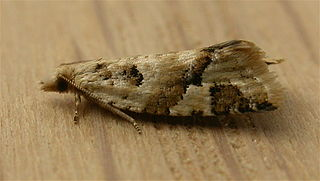 <i>Capua</i> (moth) Genus of tortrix moths