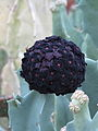 Caralluma acutangula (8003677865).jpg