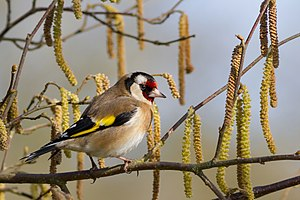 European goldfinch - C. c. carduelis In Tarn, France