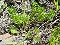 Cardionema ramosissimum 2.jpg