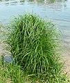 Carex acutiformis plant (01).jpg