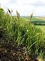 Carex praecox sl4.jpg