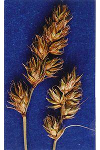 Carexoccidentalis.jpg