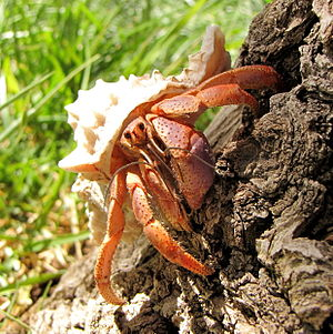 Image of a Caribbean hermit crab climbing on a...