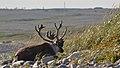 Caribou (Rangifer tarandus) - Port au Choix, Newfoundland 2019-08-19 (15).jpg