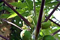 Carica papaya Tropical Dwarf Papaya 2zz.jpg
