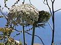 Carotte sauvage (Daucus carota).jpg