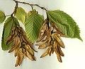 Carpinus fruit.jpg