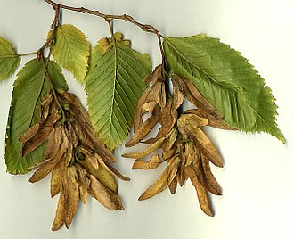 Carpinus betulus - European Hornbeam seed catkins