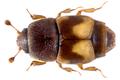 Carpophilus hemipterus (Linné,1758) (9720396701).png