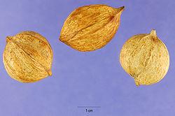 Carya tomentosa nuts USDA.jpg