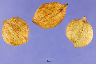 Carya tomentosa - The nuts of white hickory