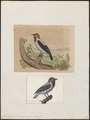 Casmarhynchus variegatus - 1700-1880 - Print - Iconographia Zoologica - Special Collections University of Amsterdam - UBA01 IZ16600155.tif