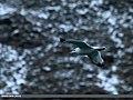 Caspian Gull (Larus cachinnans) (23305272903).jpg