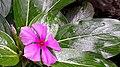 Cataranthus roseus.jpg