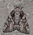 Catocala palaeogama – Oldwife Underwing Moth? (14573210000).jpg
