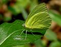 Catopsilia pomona by kadavoor edit.png