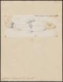 Catostomus duquesnii - 1700-1880 - Print - Iconographia Zoologica - Special Collections University of Amsterdam - UBA01 IZ15000011.tif