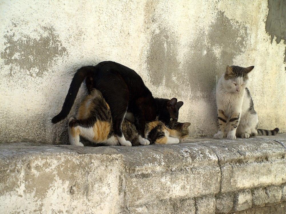 Cats having sex in Israel.jpg