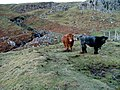 Cattle by the burn - geograph.org.uk - 1109377.jpg