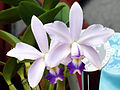 Cattleya violacea forma coerulea Hiro-Oishi.jpg