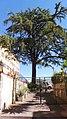 Cedro del Libano, Salita Pontecorvo 72, Napoli (settima foto).jpg