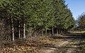 Cedrus libani plantation in Saint-Pons-de-Thomières cf01.jpg