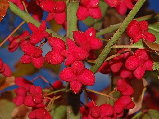 Celastraceae - Euonymus europaeus-2