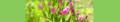 Centaurium erythraea. Reader.png