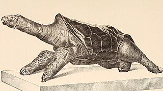 <i>Cylindraspis</i> genus of reptiles