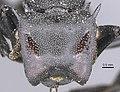 Cephalotes marginatus 2.jpg